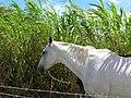 Starr-060820-8598-Cenchrus purpureus-habit and horses grazing-Makawao-Maui (24568851360).jpg