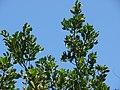 Starr-070404-6630-Conocarpus erectus-leaves and fruit-Keomoku Beach-Lanai (24886997455).jpg