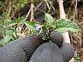Starr-090521-8308-Solanum americanum-flowers and leaves-Polipoli-Maui (24929954256).jpg
