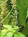 Starr-090623-1611-Ocimum gratissimum-flowers and leaves-Kaeleku-Maui (24340124853).jpg
