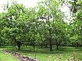 Starr-090623-1641-Artocarpus altilis-grove-National Tropical Botanical Garden Kaeleku-Maui (24873717651).jpg