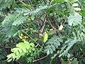 Starr-090623-1749-Tipuana tipu-leaves-Hana-Maui (24340437683).jpg