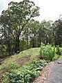 Starr-090707-2392-Zea mays-in vegetable garden-Olinda-Maui (24875717351).jpg