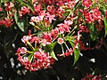 Starr-090818-4472-Quisqualis indica-flowers-Kihei-Maui (24677015720).jpg