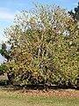 Starr-091023-8501-Acer buergerianum-habit with fall foliage-Kula-Maui (24691238650).jpg