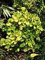 Starr-110215-1127-Polyscias scutellaria-habit-KiHana Nursery Kihei-Maui (24448809333).jpg