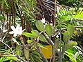 Starr-110215-1489-Plumeria obtusa-flowers and leaves-Kihei-Maui (24445712474).jpg