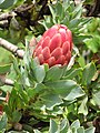 Starr-110307-2619-Protea grandiceps-flower and leaves-Kula Botanical Garden-Maui (24985100031).jpg