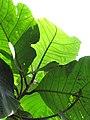 Starr-110330-3969-Tectona grandis-leaves-Garden of Eden Keanae-Maui (25081019215).jpg