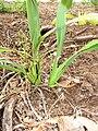 Starr-110411-5028-Dianella sandwicensis-fruiting habit form lavarum-Hawea Pl Olinda-Maui (24787021230).jpg