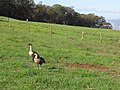 Starr-111128-1480 Branta sandvicensis in pasture-Kula-Maui (24493597673).jpg