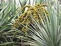 Starr-120403-4179-Dracaena draco-fruit and leaves-Kula-Maui (24770866819).jpg