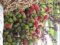 Starr-120522-6255-Chambeyronia macrocarpa-fruit-Iao Tropical Gardens of Maui-Maui (25117049336).jpg