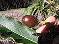 Starr-130201-1630-Persea americana-var Little Cado tiny fruit forming-Hawea Pl Olinda-Maui (24909603030).jpg