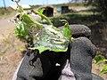Starr-130617-5001-Cordia subcordata-leaves infested with kou leafworm Ethmia nigroapicella-Kealia Pond NWR-Maui (24844538799).jpg