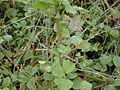 Starr 011205-0064 Rubus ellipticus.jpg