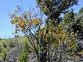 Starr 030222-0060 Sophora chrysophylla.jpg