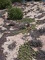 Starr 040613-0047 Solanum nelsonii.jpg