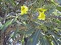 Starr 040925-0010 Tabebuia aurea.jpg