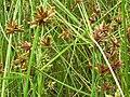 Starr 061108-9653 Cyperus trachysanthos.jpg