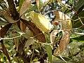 Starr 070621-7528 Asparagus asparagoides.jpg