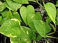 Starr 080117-1726 Epipremnum pinnatum.jpg