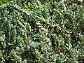 Starr 090121-0959 Vitex rotundifolia.jpg