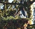 Steller's Jay (30682886867).jpg