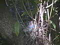 Steller's Jay nesting in California bay tree.jpg