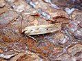 Stomopteryx detersella (36814078841).jpg