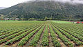 Strawberry field near Valldal.jpg