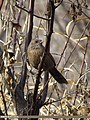 Streaked Laughingthrush (Trochalopteron lineatum) (15868394966).jpg