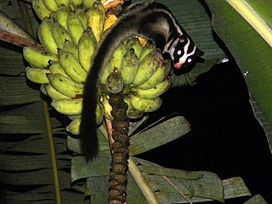 Striped Possum on bananas edited.jpg