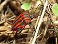 Striped Shield Bug (15979579352).jpg
