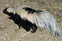 Striped Skunk Big Bend NP.jpg