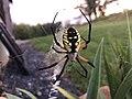 StutteeingDan Garden Spider.jpg