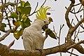 Sulphur-crested cockatoo - AndrewMercer IMG19041.jpg