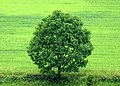 Summer tree - Flickr - Stiller Beobachter.jpg