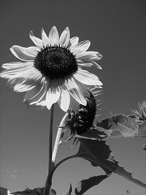 Deriche edge detector - Image: Sun flower Deriche filter smoothing alpha = 1