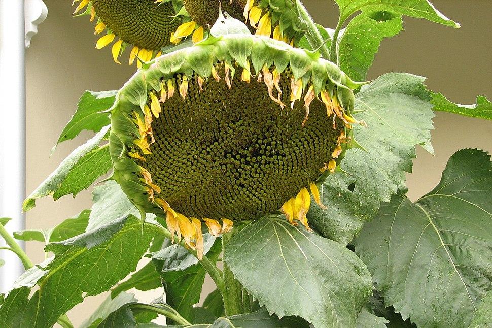 Sunflower-fruiting head