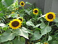Sunflowers, S2006.JPG