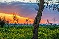 Sunset behind mustard fields in Pakistan.jpg
