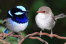 blue and gray wren on branch
