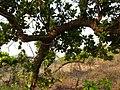 Surahonne (Kannada- ಸುರಹೊನ್ನೆ) (3439071436).jpg
