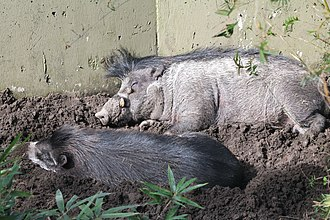 Visayan warty pig - A pair of Visayan warty pigs resting at Lowry Park Zoo in Tampa, Florida.