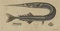 Svensk zoologi vol II 1806 033.jpg