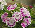 Sweet William-Dianthus barbatus (9).JPG