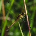 Sympetrum danae female.png