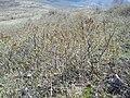 Syringa vulgaris, Oleaceae 06.jpg