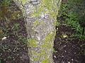 Syzygium cordatum bark.jpg